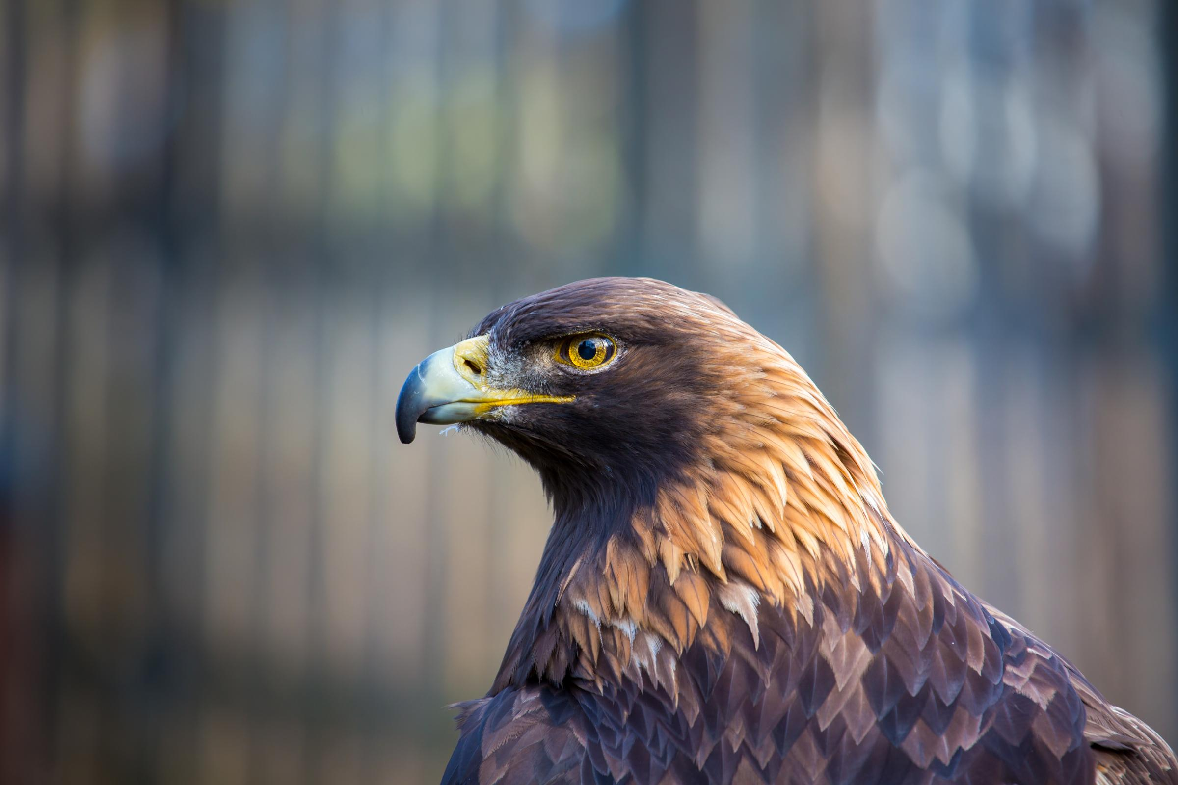 Portrait of a Golden Eagle. These birds of prey are the kings and queens of the sky, flying at great heights and distances with acute eyesight for homing in on prey..