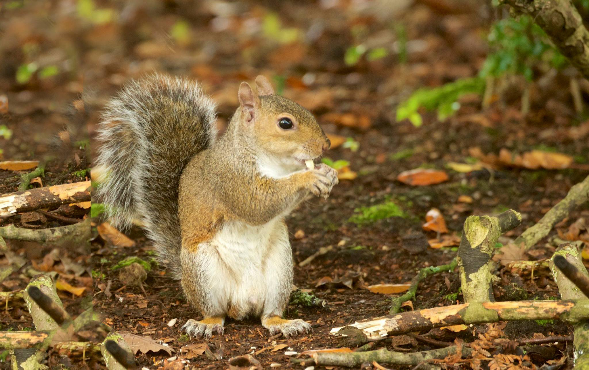 A grey squirrel nibbles on a nut.