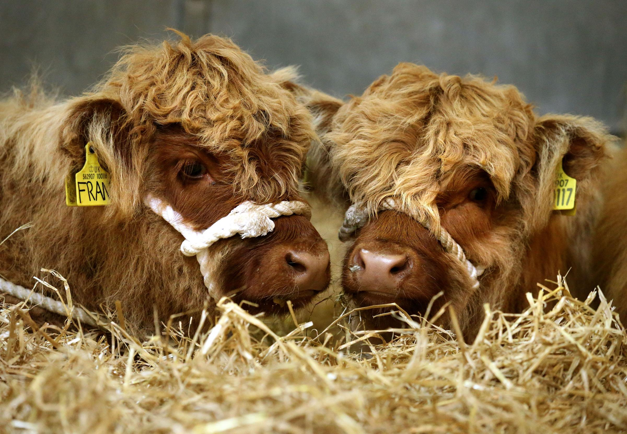 Highland cow calves. Picture: Andrew Milligan/PA Wire.