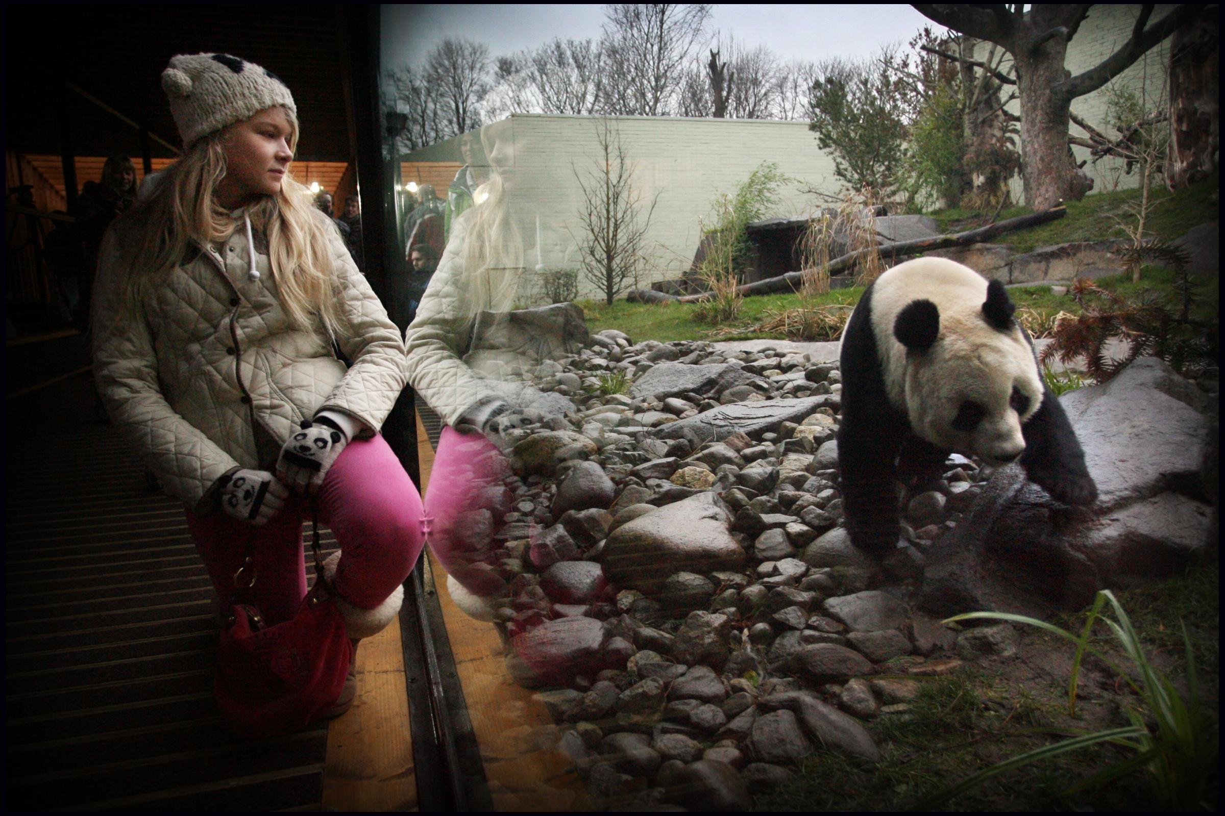 Eve Miller, from Bridge of Allan, watches Tian Tian, who it's feared will react badly should construction work be noisy. Picture: Stewart Attwood