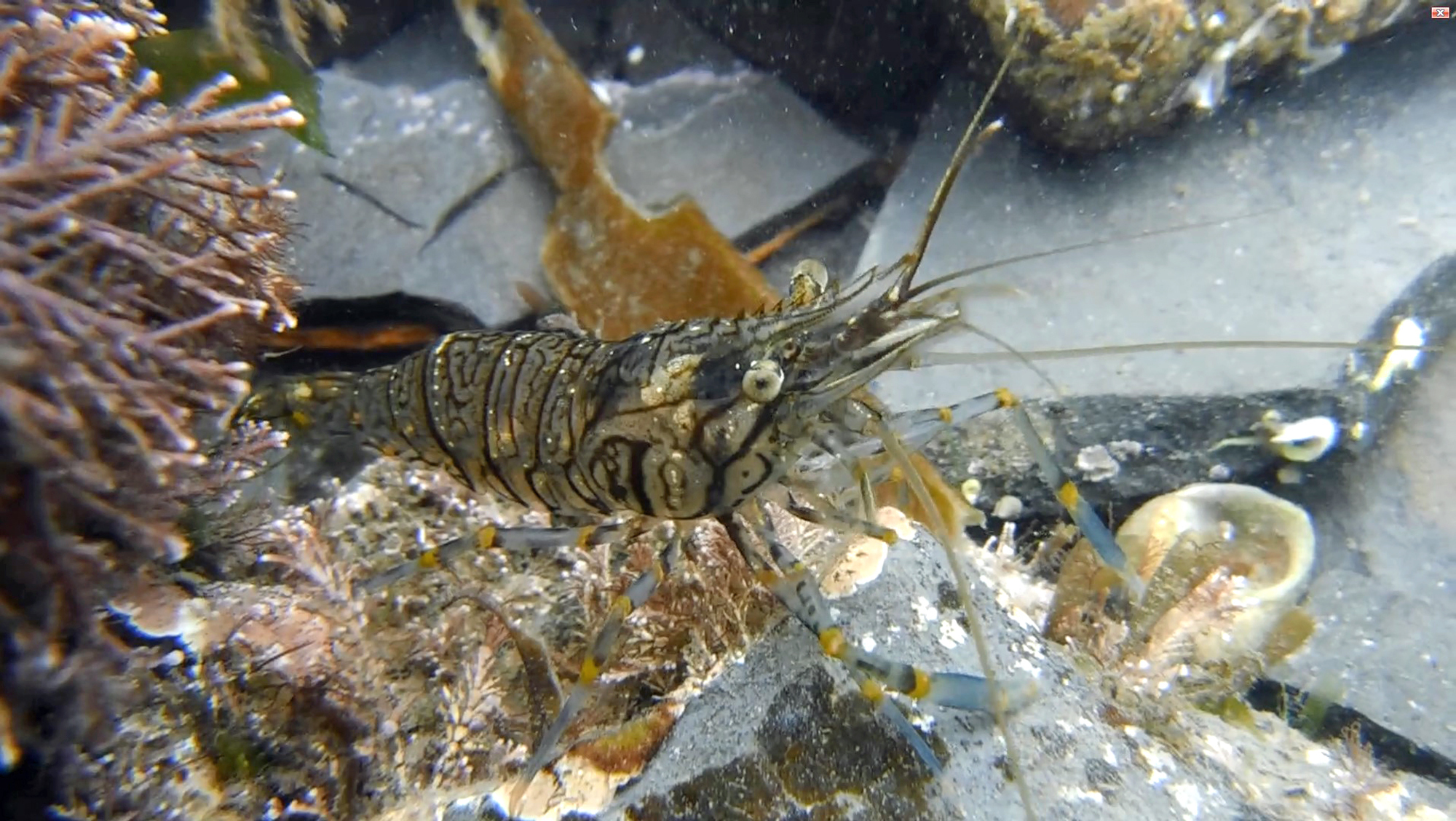 New research suggests that some prawns have personalities. Picture: Nicky Dobson/University of Exeter/PA Wire.