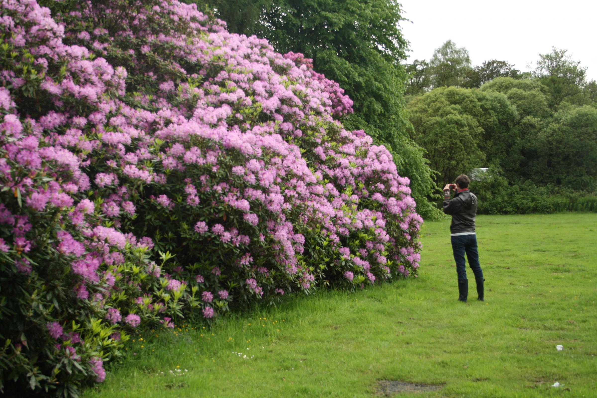 Rhododendrons may look pretty but they are strangling native species