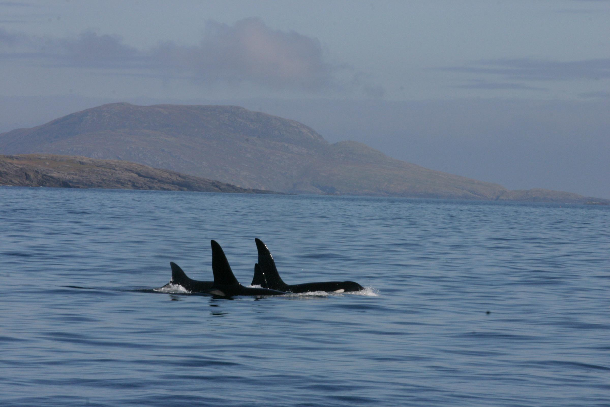 Scotland's only resident killer whale faces extinction due to illegal chemicals in the sea