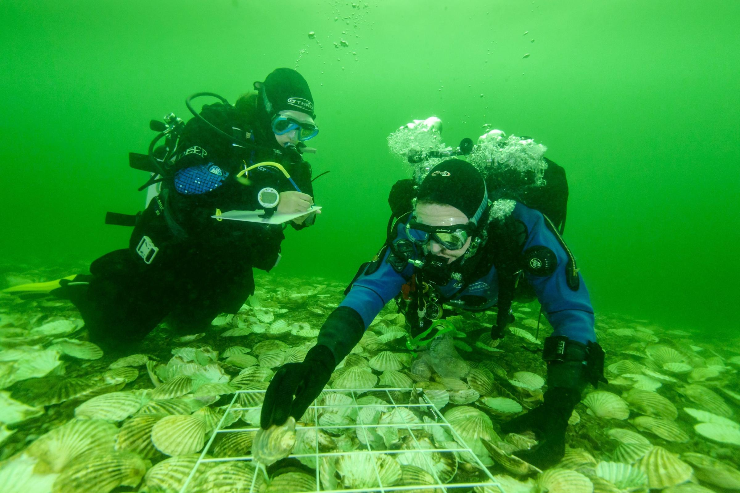 Groundbreaking move sees native oyster reefs return to Dornoch Firth for the first time in more than 100 years
