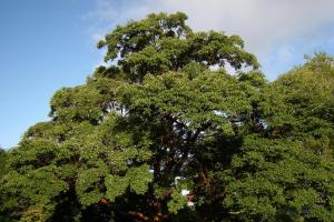 Fascinating tales of Scotland's most amazing trees