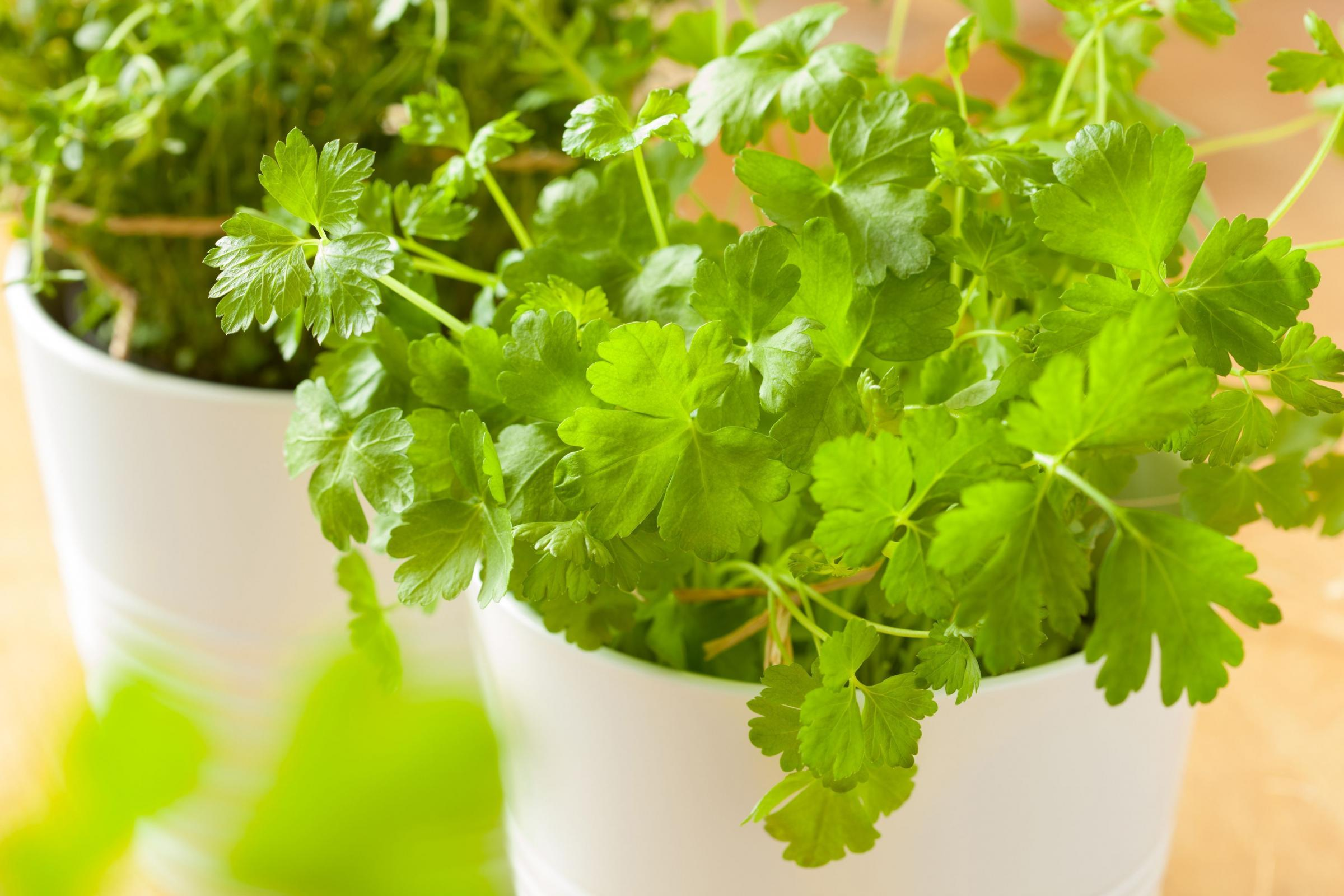 Fresh cilantro herb coriander leaf in pot